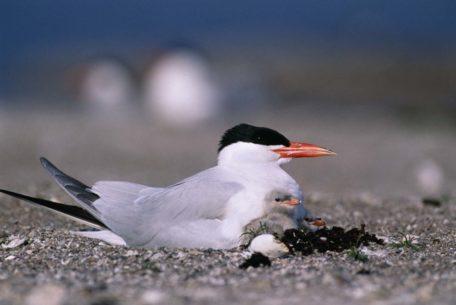 Ballantrae tern